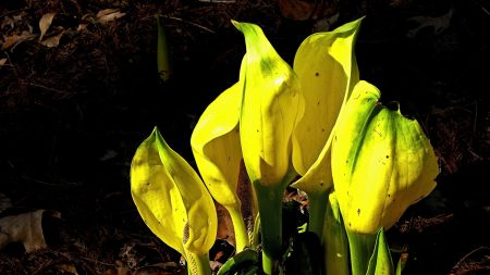 spathiphyllum, flowers, yellow