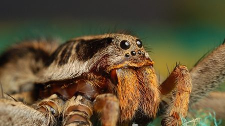 spider, insect, eyes