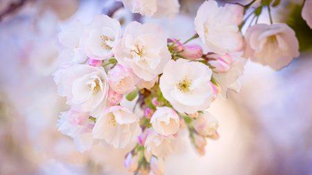 spring, bloom, cherry