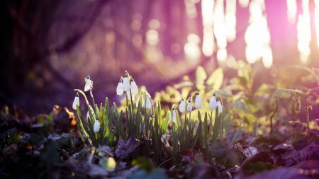 spring, snowdrops, flowers