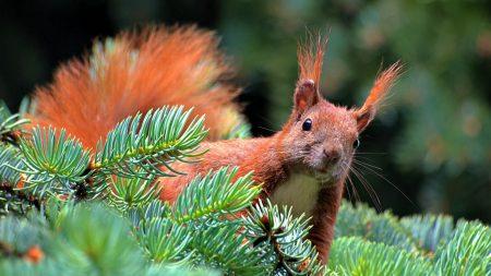 spruce, branch, paw