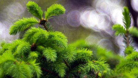spruce, grass, highlight