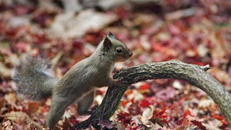 squirrel, branch, foliage