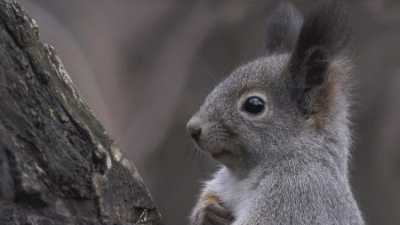squirrel, ears, tree