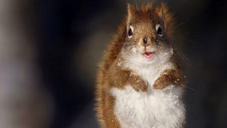 squirrel, fluffy, snow