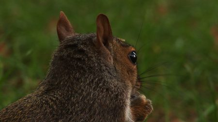 squirrel, head, back