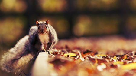 squirrel, leaves, autumn