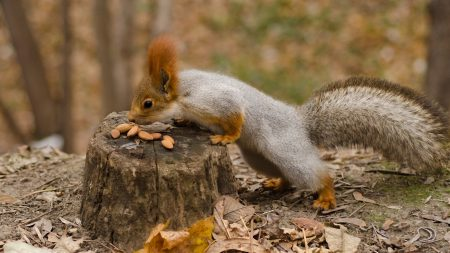 squirrel, nuts, autumn