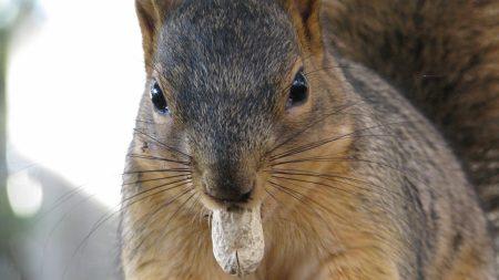squirrel, nuts, eat