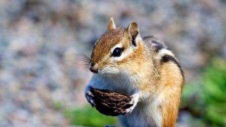 squirrel, nuts, food