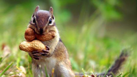 squirrel, nuts, grass