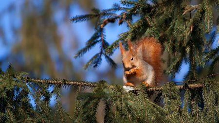 squirrel, pine, sitting