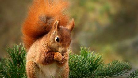squirrel, spruce, food