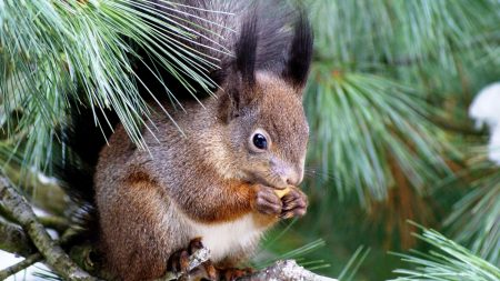 squirrel, spruce, tree