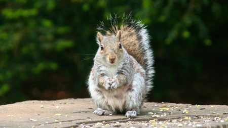 squirrel, tail, elegant