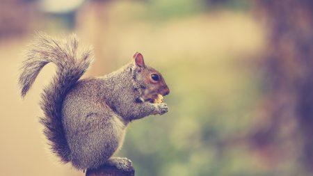 squirrel, tail, sit