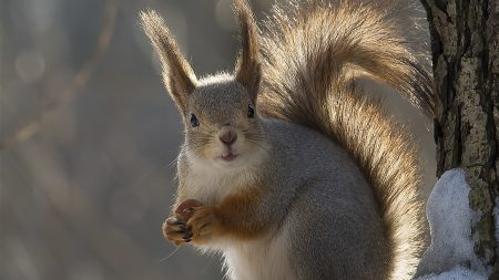 squirrel, tail, winter