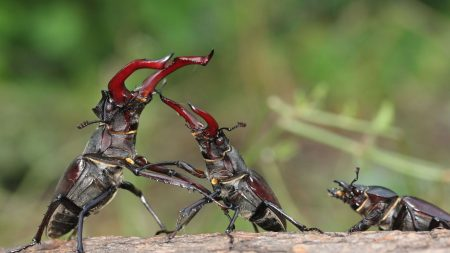 stag beetle, fight, male