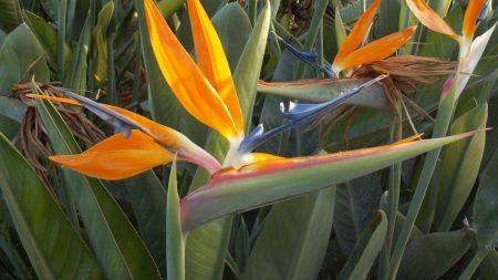 sterlitsiya, flower, flowerbed