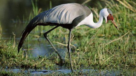 stork, grass, swamp