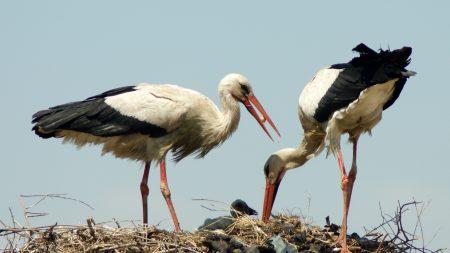 storks, cubs, nest