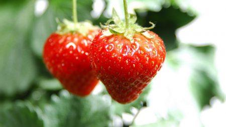 strawberries, couple, twigs