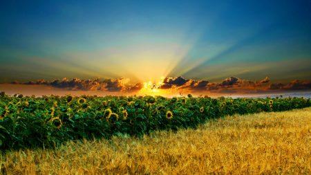 sun, field, sunflowers