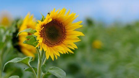 sunflower, field, greens