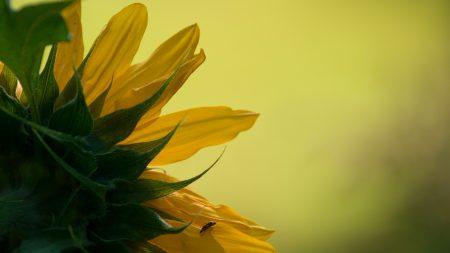 sunflower, petals, leaves