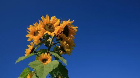 sunflower, plant, summer