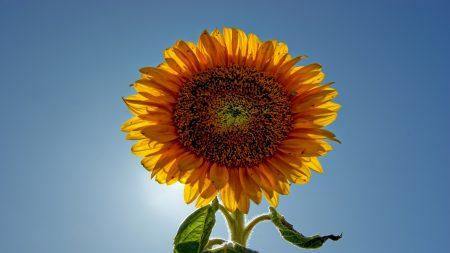 sunflower, plant, sunny