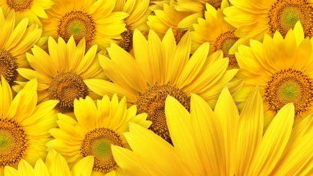 sunflower seeds, petals, many