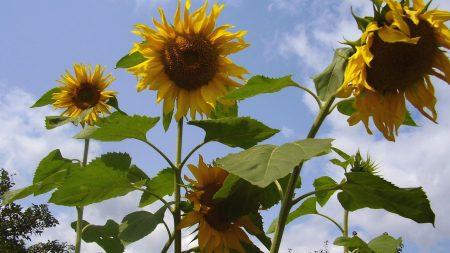 sunflower, seeds, stems