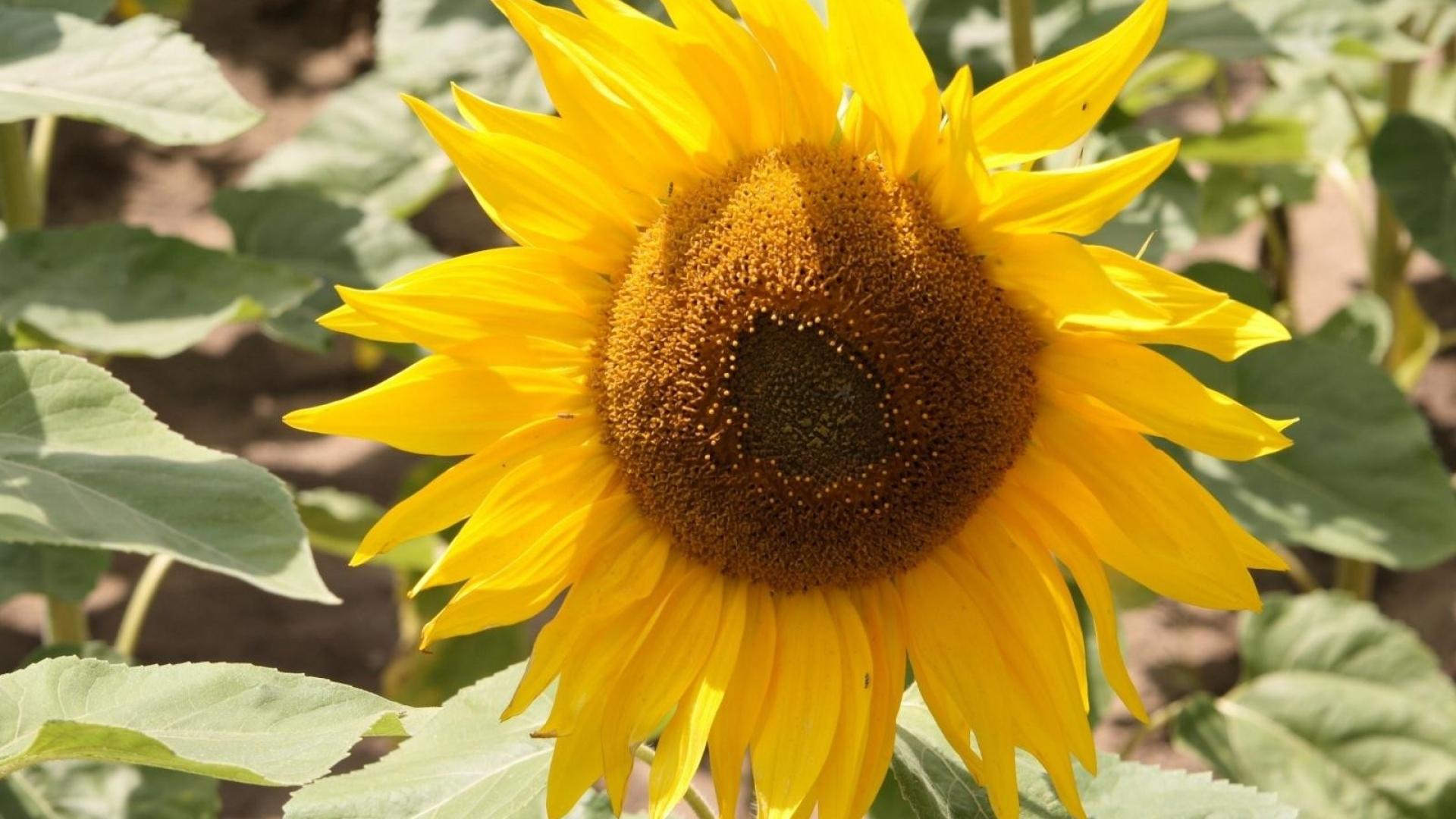 Download Wallpaper 1920x1080 sunflower, yellow, leaves ...