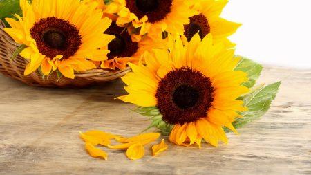 sunflowers, basket, petals