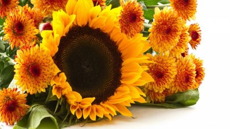 sunflowers, chrysanthemums, flowers