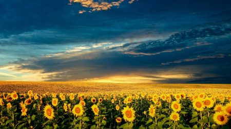 sunflowers, field, clouds