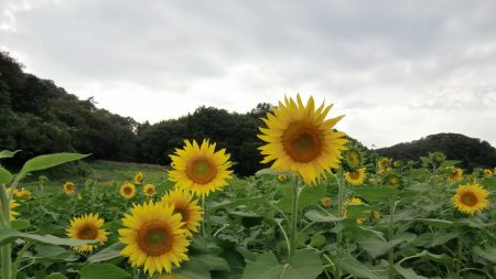 sunflowers, field, foliage