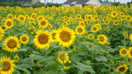 sunflowers, field, home