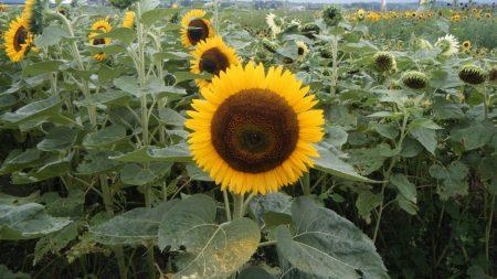 sunflowers, field, lights