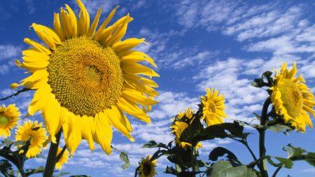 sunflowers, field, nature