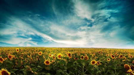 sunflowers, field, sky