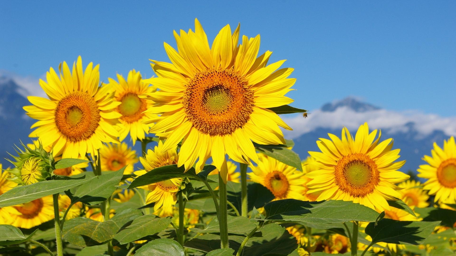 Download Wallpaper 1920x1080 Sunflowers Field Sun Sky Mountains Full Hd 1080p Hd Background