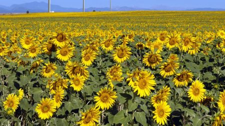 sunflowers, field, sunny