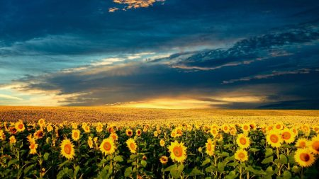 sunflowers, field, sunset