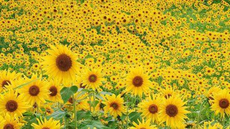 sunflowers, flowers, leaves