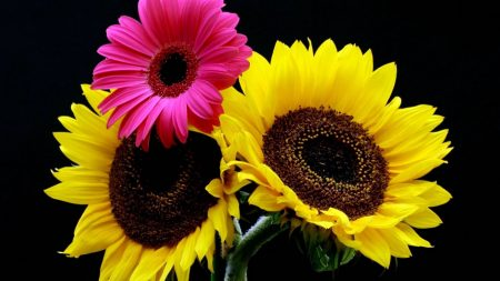 sunflowers, gerbera, background