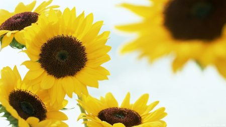 sunflowers, hats, background