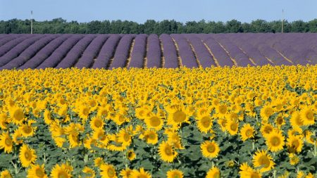 sunflowers, lavender, field