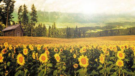 sunflowers, lodge, izba